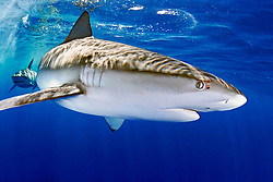 Galapagos sharks, Carcharhinus galapagensis, note copepod parasites, North Shore, Oahu, Hawaii, Pacific Ocean
