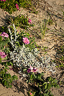 Dusty miller and beach roses in bloom on a dune in Wellfleet.