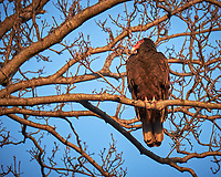 Turkey Vulture in a tree.  Image taken with a Fuji X-T1 camera and 100-400 mm OIS lens (ISO 200, 386 mm, f/5.6, 1/120 sec)