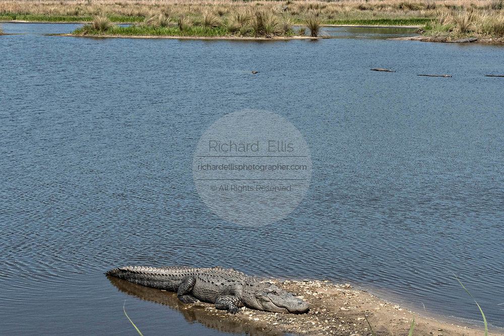 An American alligator basks along the riverbank at the Donnelley Wildlife Management Area March 11, 2017 in Green Pond, South Carolina. The preserve is part of the larger ACE Basin nature refugee, one of the largest undeveloped estuaries along the Atlantic Coast of the United States.