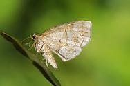 Little Thorn - Cepphis advenaria