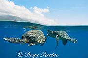 green sea turtles, Chelonia mydas ( Threatened Species ), courting pair, Wahikuli, West Maui, Hawaii, USA ( Central Pacific Ocean )