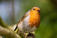 Red Robins on the Isle of Wight