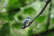 This Belted Kingfisher is hiding among the leaves and branches in a tree in Ithaca, NY