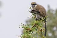 Bale-Grünmeerkatze (Chlorocebus djamdjamensis) im Harenna Wald im Bale Mountains Nationalpark<br /> <br /> Diese Primatenart kommt nur in Äthiopien vor, ihr Verbreitungsgebiet ist auf das Bale-Gebirge und angrenzende Gebiete im Osten der äthiopischen Region Oromiyaa beschränkt.