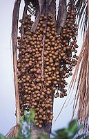 Fruta del moriche, Estado Delta Amacuro, Venezuela