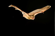Northern Yellow Bat (Lasiurus intermedius) flying, Texas.