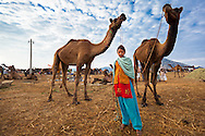 Camels for trade with a young girl at the Pushkar Camel Fair, Rajasthan, India