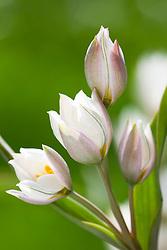 Tulipa polychroma syn. Tulipa biflora major