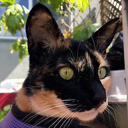 Zelda the cat sits on the deck in back of her Oakland, Calif. home, Friiday, April 10, 2020. (Photo by D. Ross Cameron)