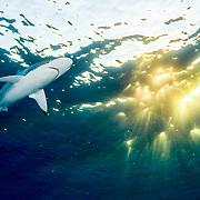 Silky shark (Carcharhinus falciformis) with light rays near the surface. Image made off Jardines de la Reina (Gardens of the Queen National Park), Cuba