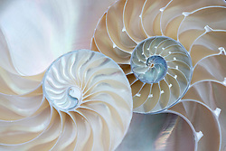 Two halves of a nautilus shell represent two halves of a whole. The opal spirals unfold in a beautiful, classic Fibonacci algorithm.