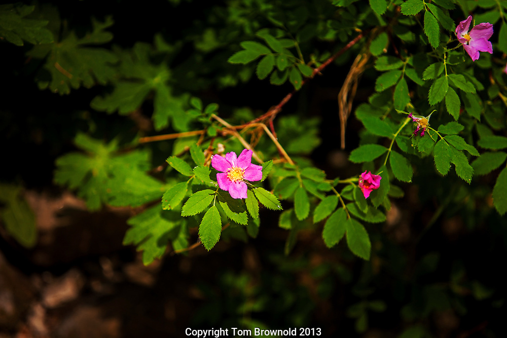 Fendler rose (Rosa fendleri) found in Ponderosa forests and clearings has short thorns makes fruit called rose hips.