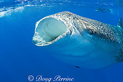 whale shark, Rhincodon typus, with mouth open to feed; vestigial teeth visible in lower jaw; photographer Deron Verbeck in background; Kona Coast, Hawaii Island ( the Big Island ), Hawaiian Islands ( Central Pacific Ocean )