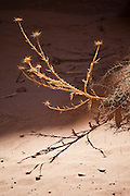 Dried thistle plant in Wadi Rum, Jordan.
