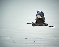 Great Blue Heron in flight. Biolab Road, Merritt Island National Wildlife Refuge. Image taken with a Nikon D3s camera and  70-200 mm f/2.8G VRII lens and TC-E 2.0 III teleconverter (ISO 200, 400 mm, f/5.6, 1/800 sec).