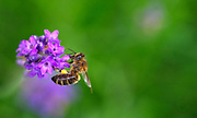 A  Bee making a stop on some lavender