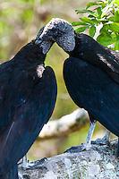 US, Florida, Everglades. Anhinga Trail Boardwalk. Black Vulture.