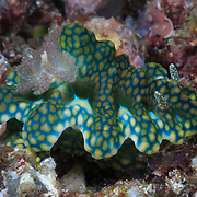 Ceratosoma sinuatum on the reef in Ambon, Indonesia