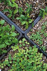 Seedlings in trays<br /> Clockwise from left: Berkheya, Lathyrus vernus, Semi-aquilegia ecalcarata, Aquilegia vulgaris 'Aurea'