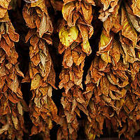 Cnetral America, Cuba, Pinar del Rio, San Luis. Drying tobacco leaves for cigars at Finca Robaina plantation.