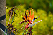Wilted Strelitzia flower AKA Bird of Paradise