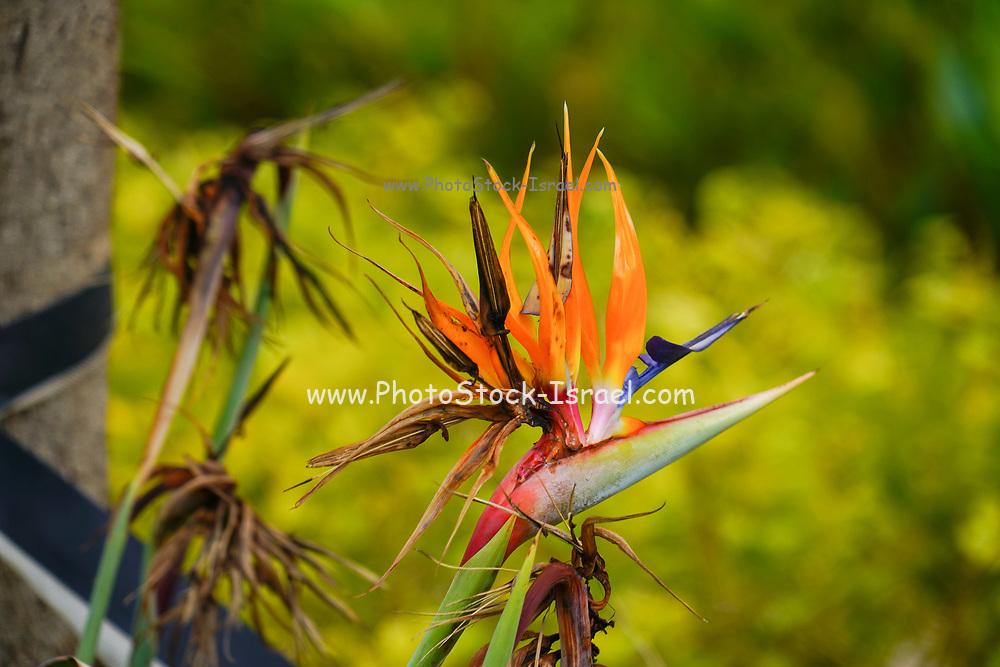Wilted Strelitzia flower AKA Bird of Paradise