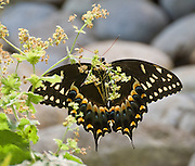 Eastern Black Swallowtail Butterfly, Papilio polyxenes (order Lepidoptera, suborder Macrolepidoptera, superfamily Papilionoidea, family Papilionidae or swallowtail butterflies). There are at least 550 species, and though the majority are tropical, members of the family are found on all continents except Antarctica. Swallowtails differ from all other butterflies in a number of anatomical traits. The adults are often tailed like the forked tail of some swallows, giving the insect its name. Most notably, their caterpillars possess a unique organ behind their heads, called the osmeterium. Normally hidden, this forked structure can be everted when the caterpillar is threatened, and emits smelly secretions containing terpenes. Photographed in the Woodland Park Zoo, Seattle, Washington, USA.