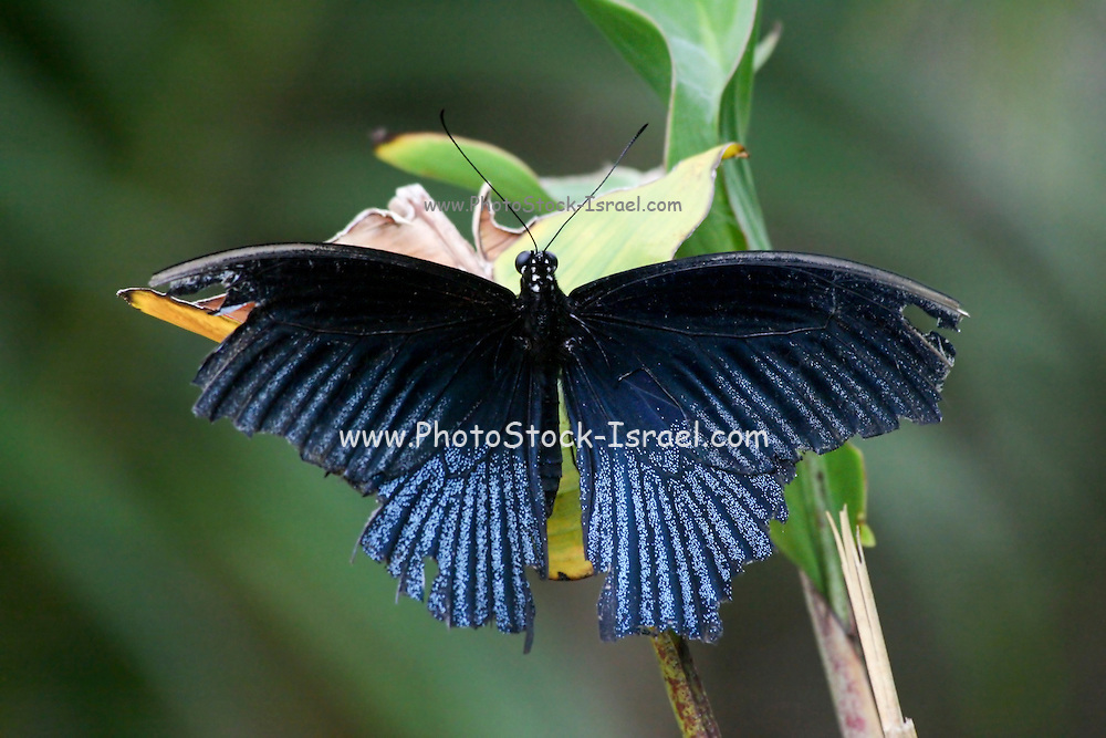Great Mormon (Papilio memnon) is a large butterfly with contrasting colors that belongs to the Swallowtail family. A common South-Asian butterfly, it is widely distributed. Photographed in Cambodia