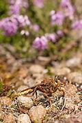 Hornet robberfly (Asilus crabroniformis). Dorset, UK.