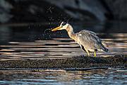 Gray Heron eating fish | Gråhegre spiser fisk