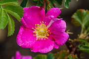 A pink wild rose flower on Piute Pass trail. John Muir Wilderness, Inyo National Forest, Mono County, California, USA.
