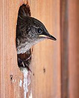 House Wren. Image taken with a Fuji X-T2 camera and 100-400 mm OIS lens.