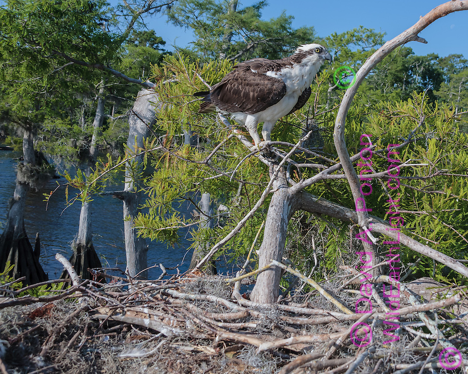 Osprey perched on branch next to stick nest in cypress tree along a lake shore, © David A. Ponton