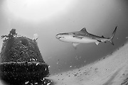 A female Tiger shark, Galeocerdo cuvier, swims next to the Esso Bonaire shipwreck offshore Jupiter, Florida, United States