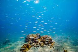 bigeye scad, akule in Hawaiian, Selar crumenophthalmus, schooling over shallow coral reef, Keauhou Bay, off Kona Coast, Big Island, Hawaii, USA, Pacific Ocean