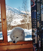 En hund som prøver å komme inn gjennom et åpent vindu på hytta, A dog trying to get in a window at a cottage