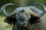 Africa Cape Buffalo hunt