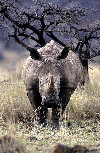 White Rhinoceros, (Ceratotherium simum) Adult grazing. Kenya.