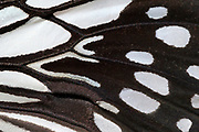 Close-up abstract image of an underside forewing section of a wood nymph butterfly (Ideopsis juventa) showing the striking black and white pattern at the Long Sutton Wildlife Park. Lincolnshire