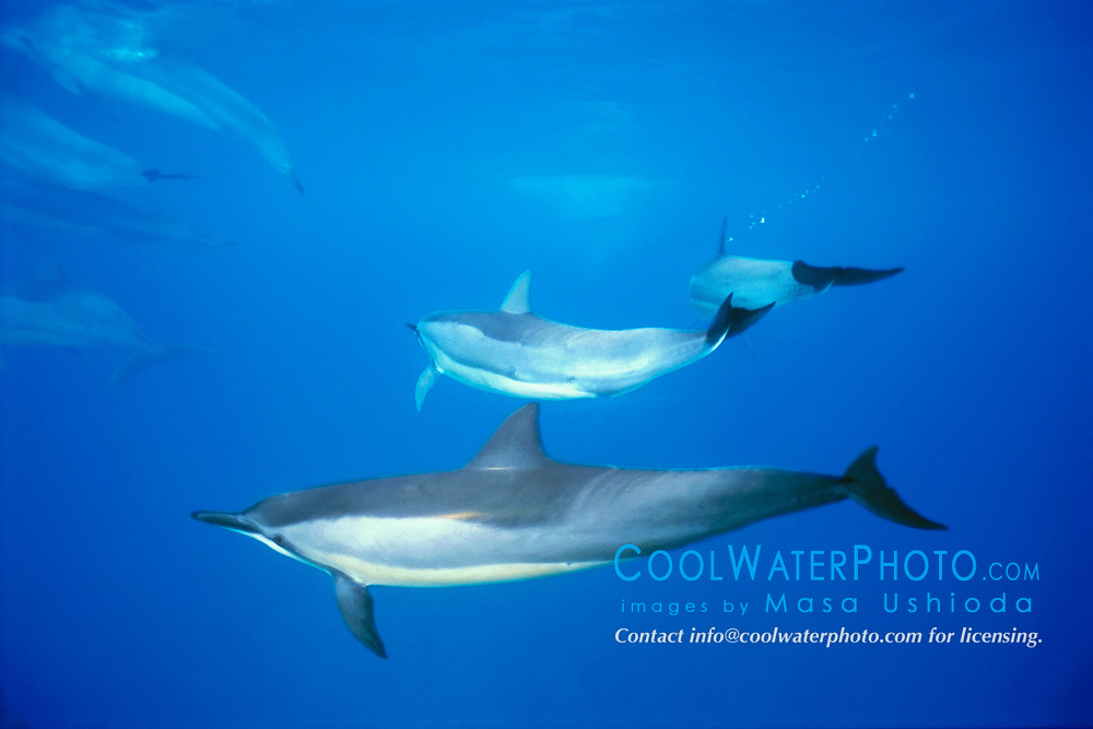 Long-snouted Spinner Dolphins, Stenella longirostris, Hookena Beach Park, Big Island, Hawaii, Pacific Ocean