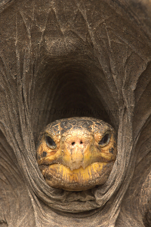 Saddleback form of Galapagos Giant Tortoise (Geochelone elephantophus guntheri)<br /> base of Sierra Negra, Isabela Island, GALAPAGOS ISLANDS<br /> ECUADOR.  South America<br /> This is a repatriated tortoises that was reared in the GNPS (Galapagos National Park Service) Tortoise breeding center in Isabela)