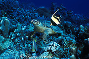 hawksbill turtle, Eretmochelys imbricata, feeding on coral rubble with emperor angelfish and moorish idol, waiting for scraps, Layang Layang Atoll, Malaysia  ( South China Sea )