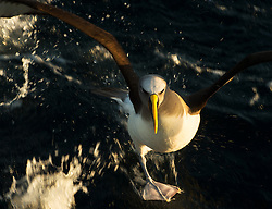 Buller's Albatross (Thalassarche bulleri) near Chatham Islands, New Zealand