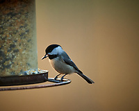 Black-capped Chickadee. Image taken with a Nikon D5 camera and 600 mm f/4 lens (ISO 1600, 600 mm, f/4, 1/400 sec)