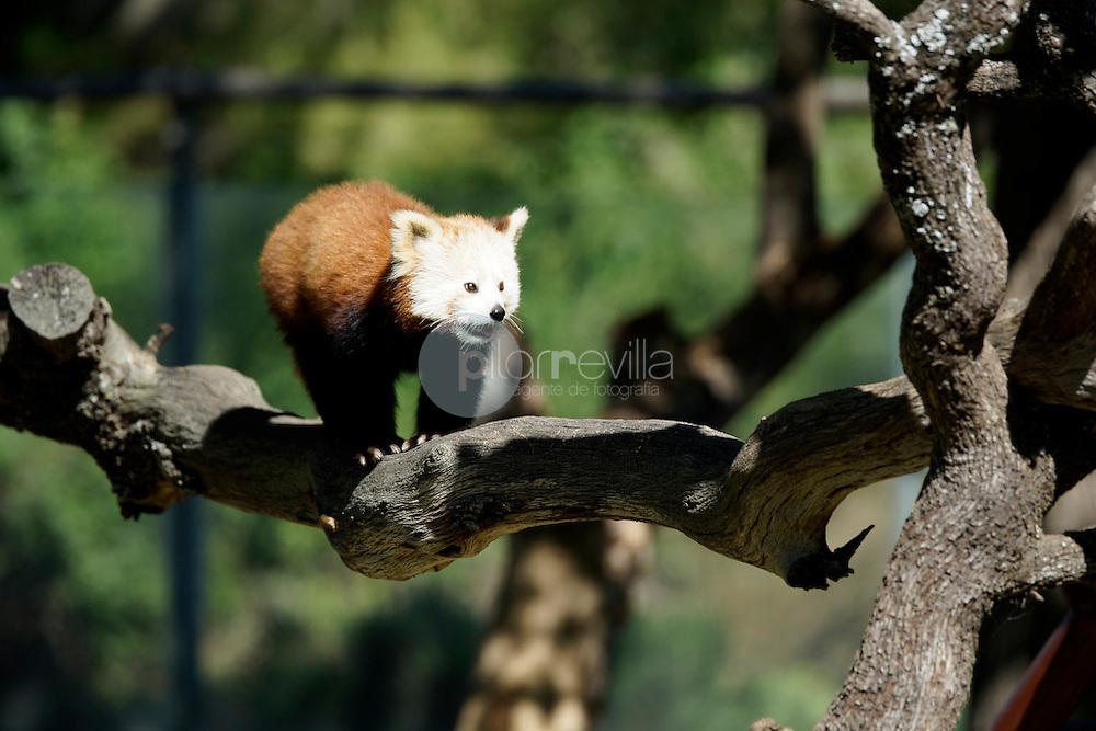 Panda rojo  (Ailurus fulgens) ©Country Sessions / PILAR REVILLA