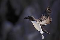 Razorbill, alca torda, Ireland Saltee Islands