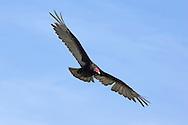 Turkey Vulture - Cathartes aura. In flight.