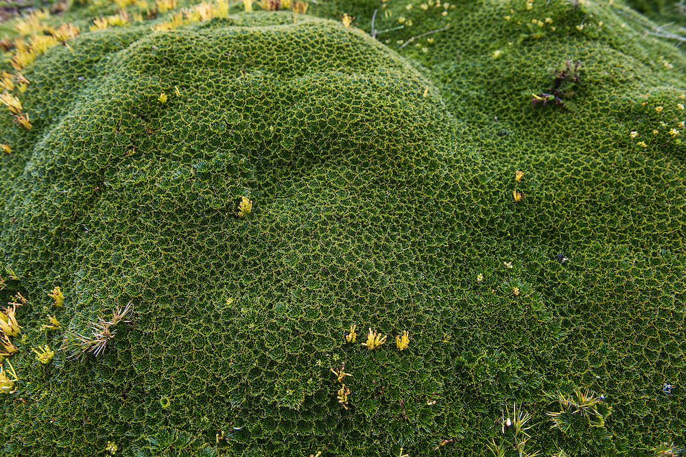 Cushion plant (Azorella sp)<br /> Antisana Ecological Reserve<br /> Cordillera Real, Andes<br /> ECUADOR, South America