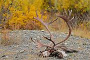 Caribou antlers in Denali National Park